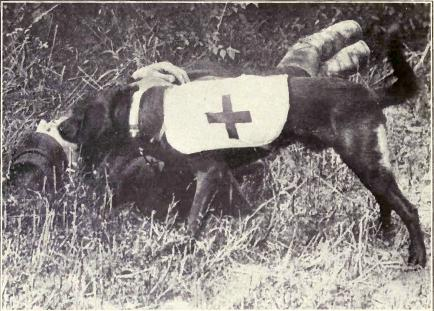 World War I ambulance dog