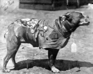 Sergeant Stubby wearing his coat and medals.